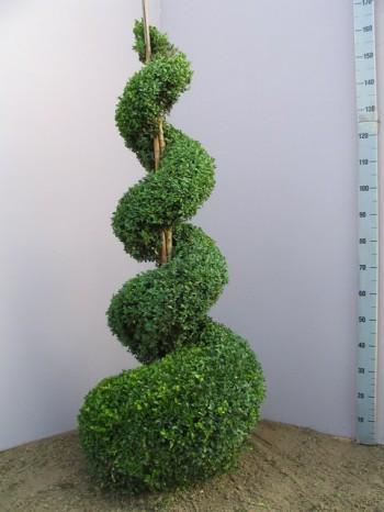 Mūžzaļais buksis jeb Buxus sempervirens - augs veidots spirāles formā