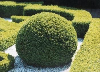 Mūžzaļais buksis jeb Buxus sempervirens - dzīvžogs