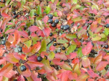 Spožā klintene jeb Cotoneaster lucida - rudens krāsās