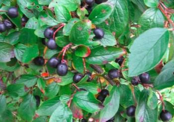 Spožā klintene jeb Cotoneaster lucida - tuvplāns