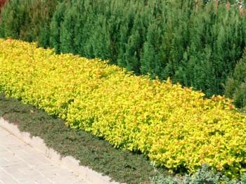 "Japānas spireja ""Gold mound"" jeb Sipiraea japonica ""Gold mound"" - dzīvžogs"