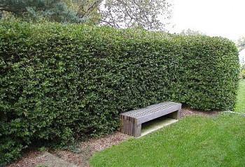 Spožā klintene jeb Cotoneaster lucida - dzīvžogs