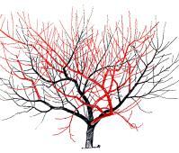 Augļu koku vainaga veidošanas shēma pirmajā gadā