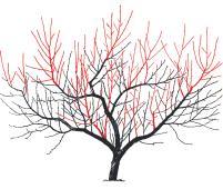 Augļu koku vainaga veidošanas shēma otrajā gadā