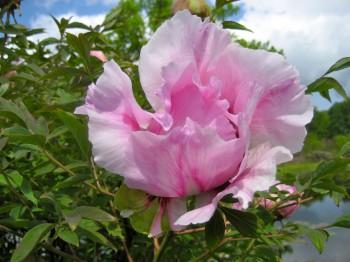 Kokveida jeb krūmveida peonija (Paeonia arborea)