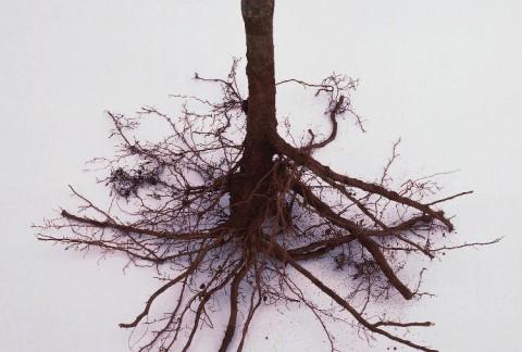 Kailsakņu augs